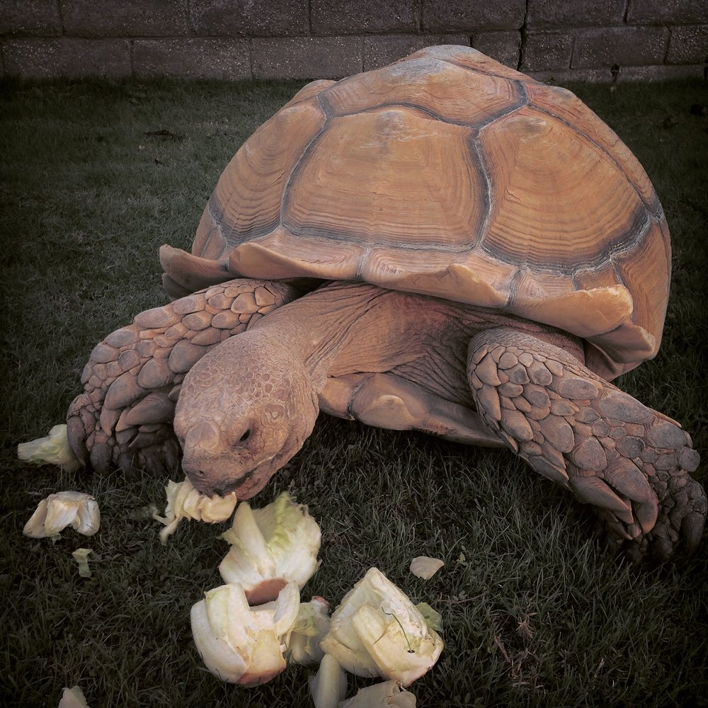tortoise medicine