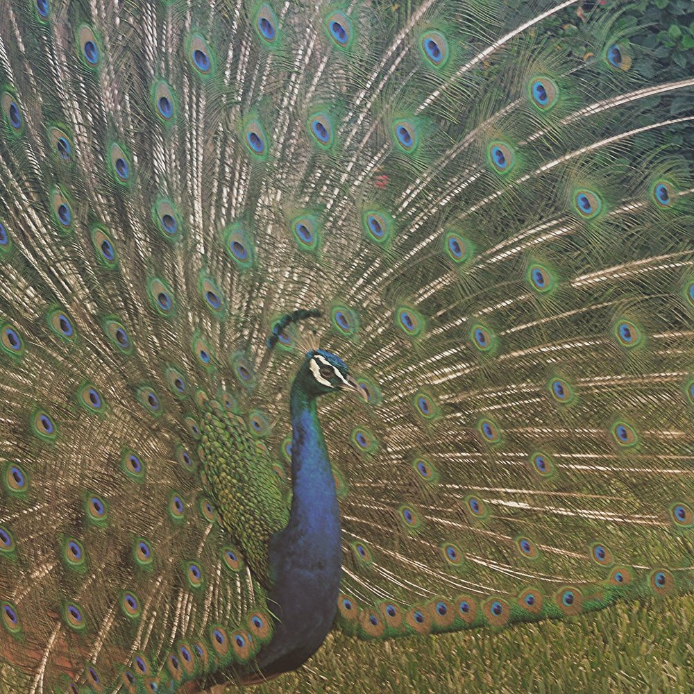 peacock medicine