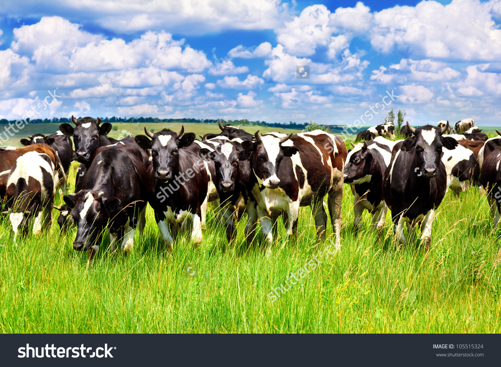 stock-photo-cattle-eating-grass-in-the-meadow-105515324.jpg