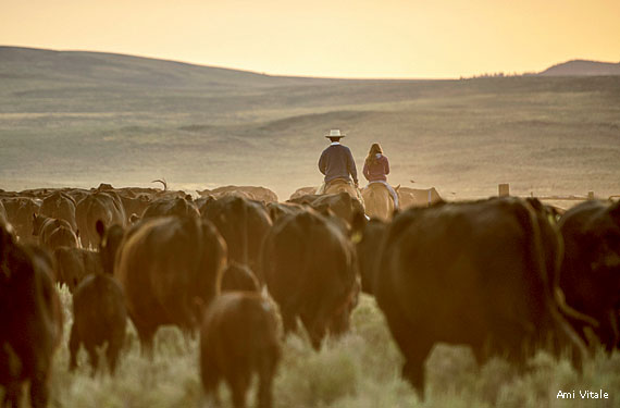 cattle_herd_ranchers_Ami_Vitale_570x375.jpg