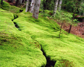 Brook Runs Through Moss
