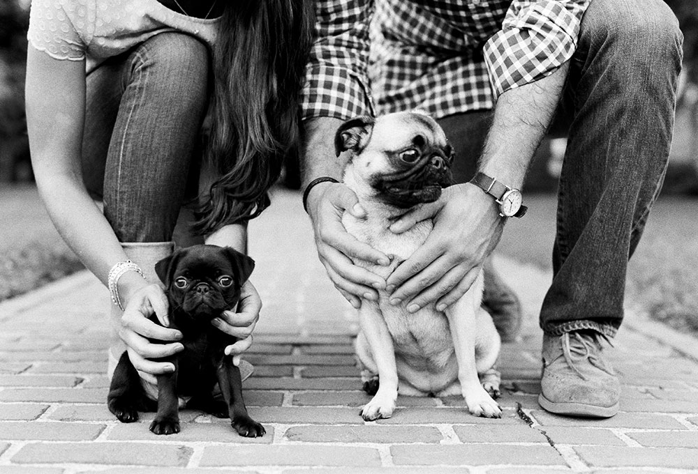 pug puppies on university of richmond campus