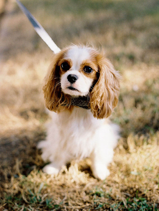 Puppy ring bearer wearing bowtie and looking super cute