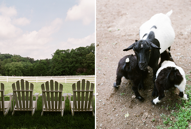 Cows and adirondack chairs at Fearrington - Sarah Der Photography