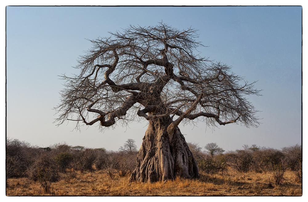 1_Baobab Tree.jpg