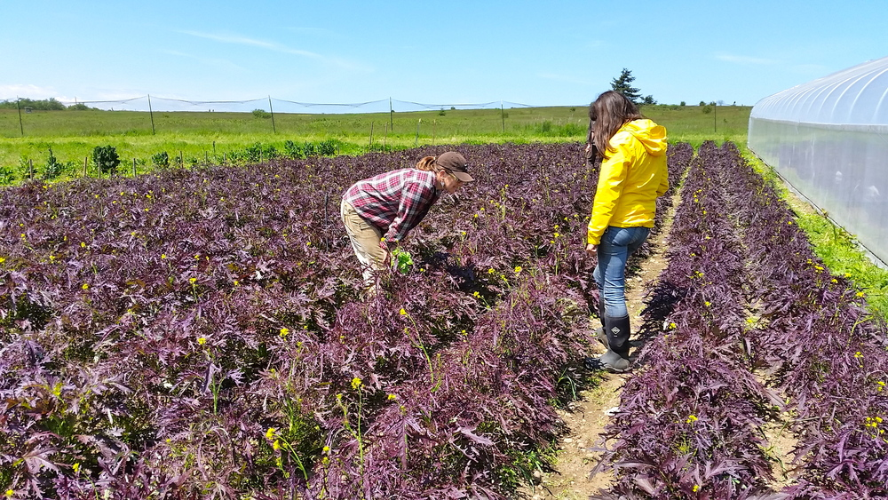 Checking the status of the Ruby Streaks mustard seed crop