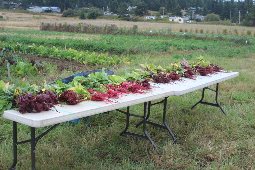 2013 Beet variety trial