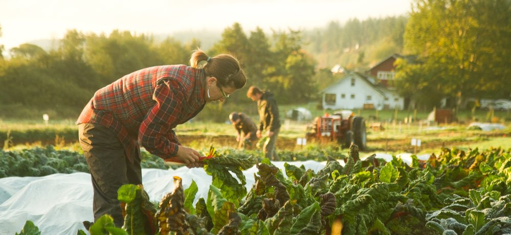 Harvesting greens first thing in the morning...