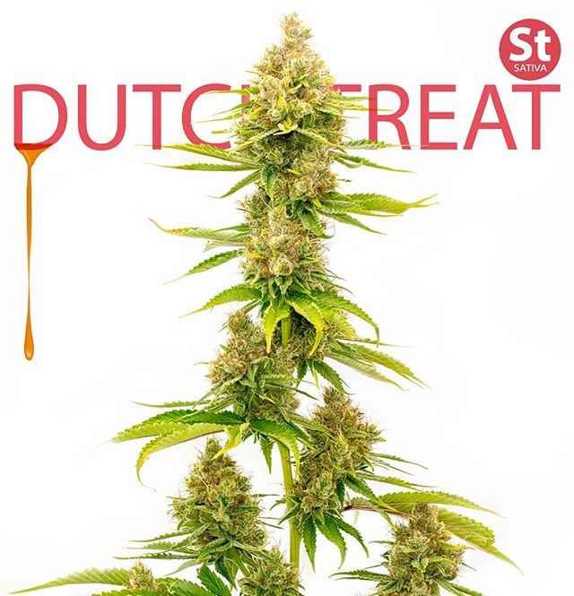 🇳🇱 Dutch Treat | sativa dominant hybrid Dripping in terps, the go-to mood enhancer. #❤️ •Keep out of reach of children •For use only by adults 21 years of age or older