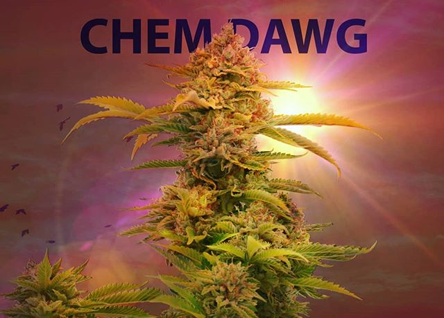 ☢️ Chem Dawg is a few weeks from hitting shelves... This one I can't miss. I'll be waiting in line fanboying. ☢️ •Keep out of reach of children •For use only by adults 21 years of age or older