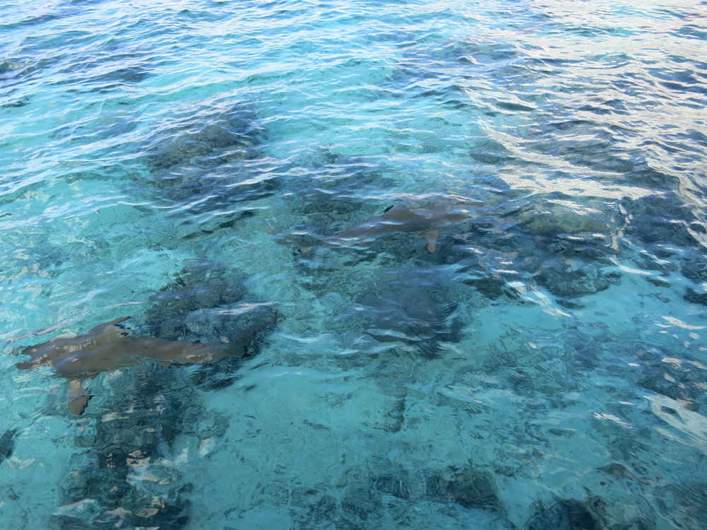 We didn't get many photographs of the sharks, but you can just see two of them in this picture.