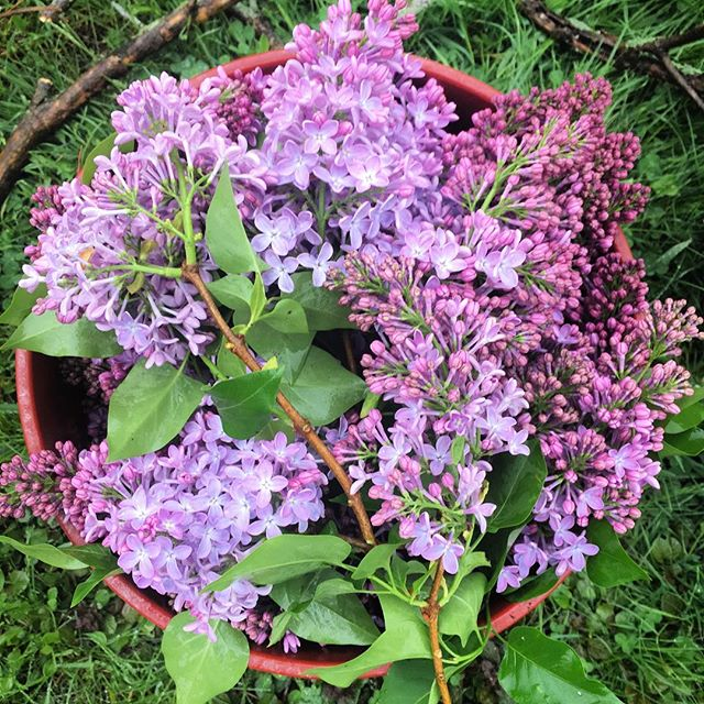 I got a bucket, got a bucket full of lilacs 🤩 Anyone have tips on how to preserve, dry, or otherwise use lilacs?