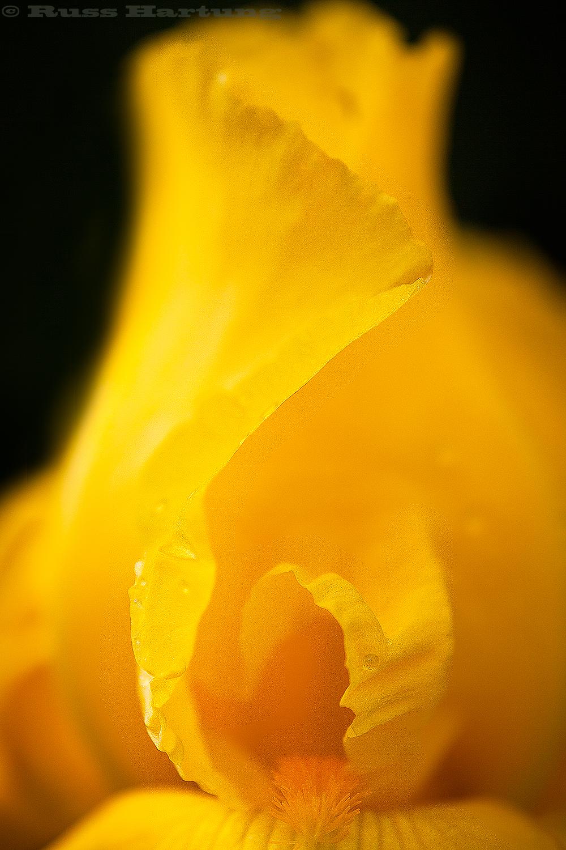 Yellow Iris spiral.