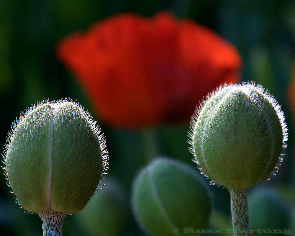 Poppy buds and flower 2.