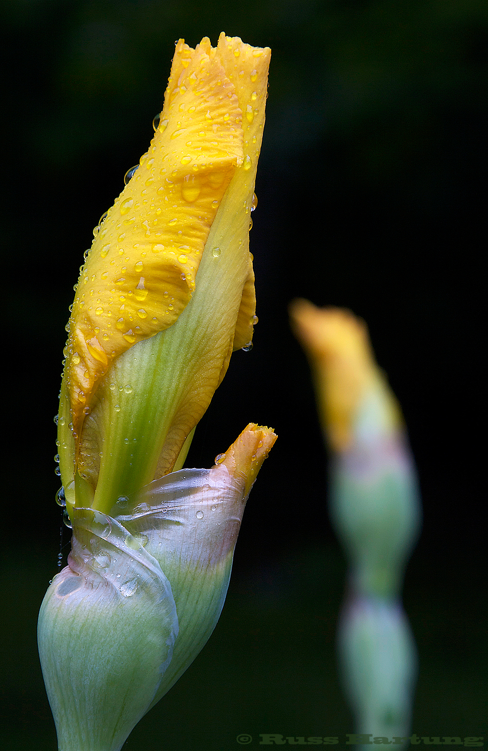 A pair of blossoming yellow irises.