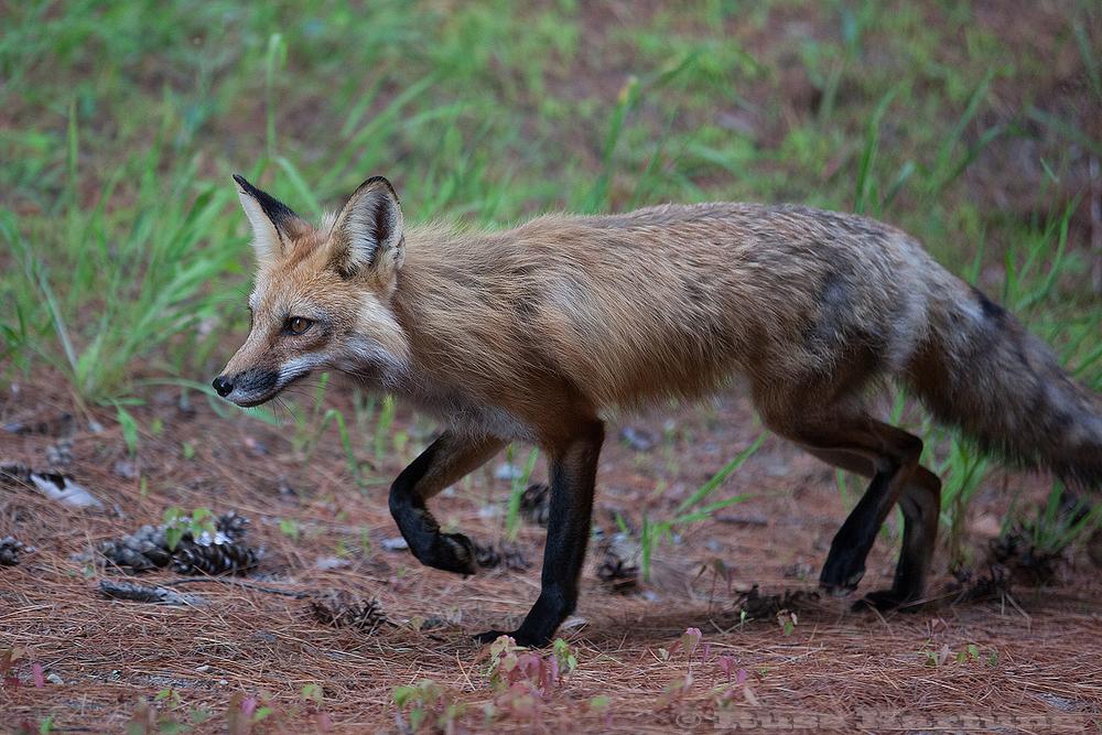 Red Fox. Adirondack Park.