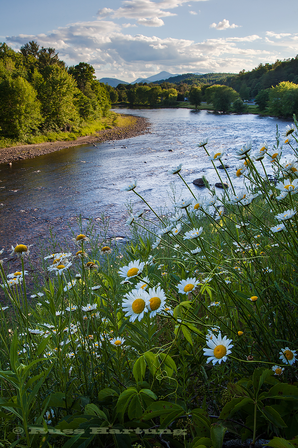 Daisies in bloom along the West Branch of the Ausable River near Ausable Forks.