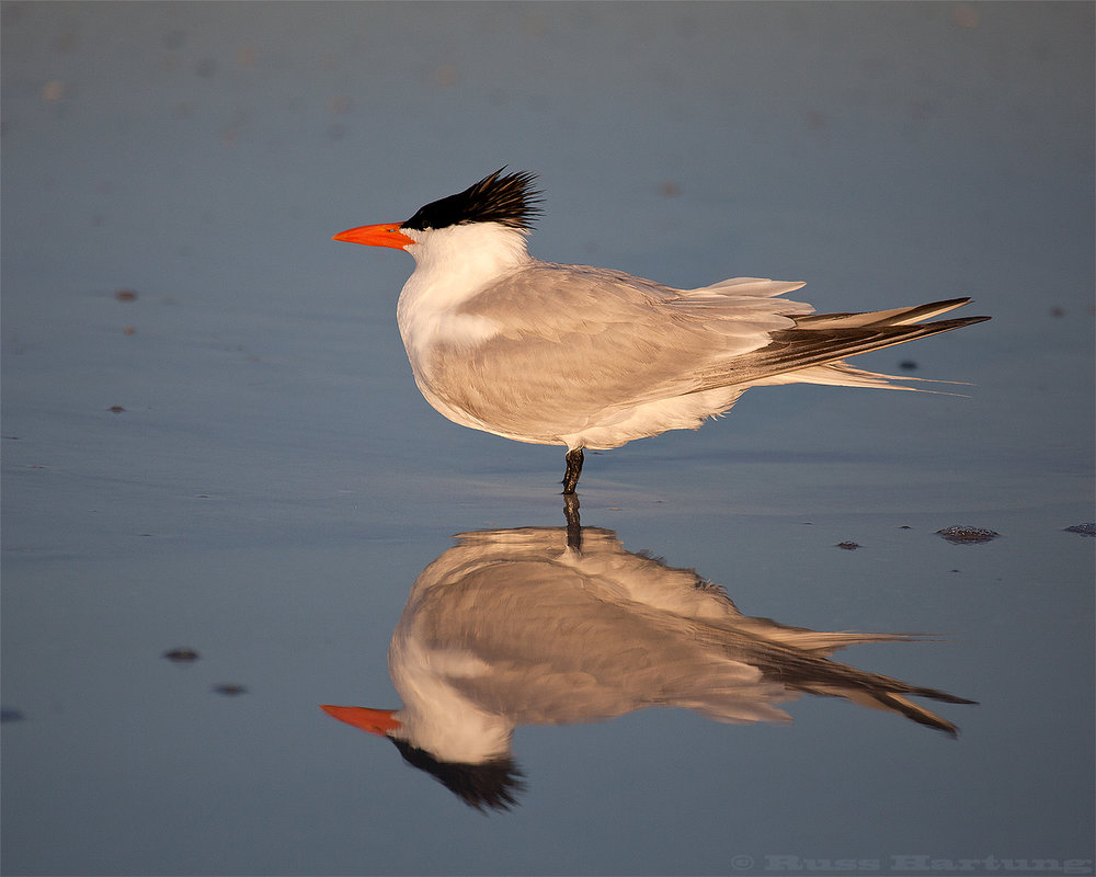 GullReflection©1500px.jpg