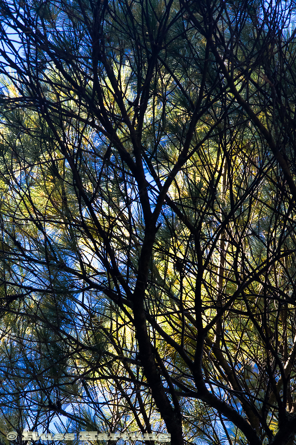 Blue sky shows through dark branches and bright yellow leaves.