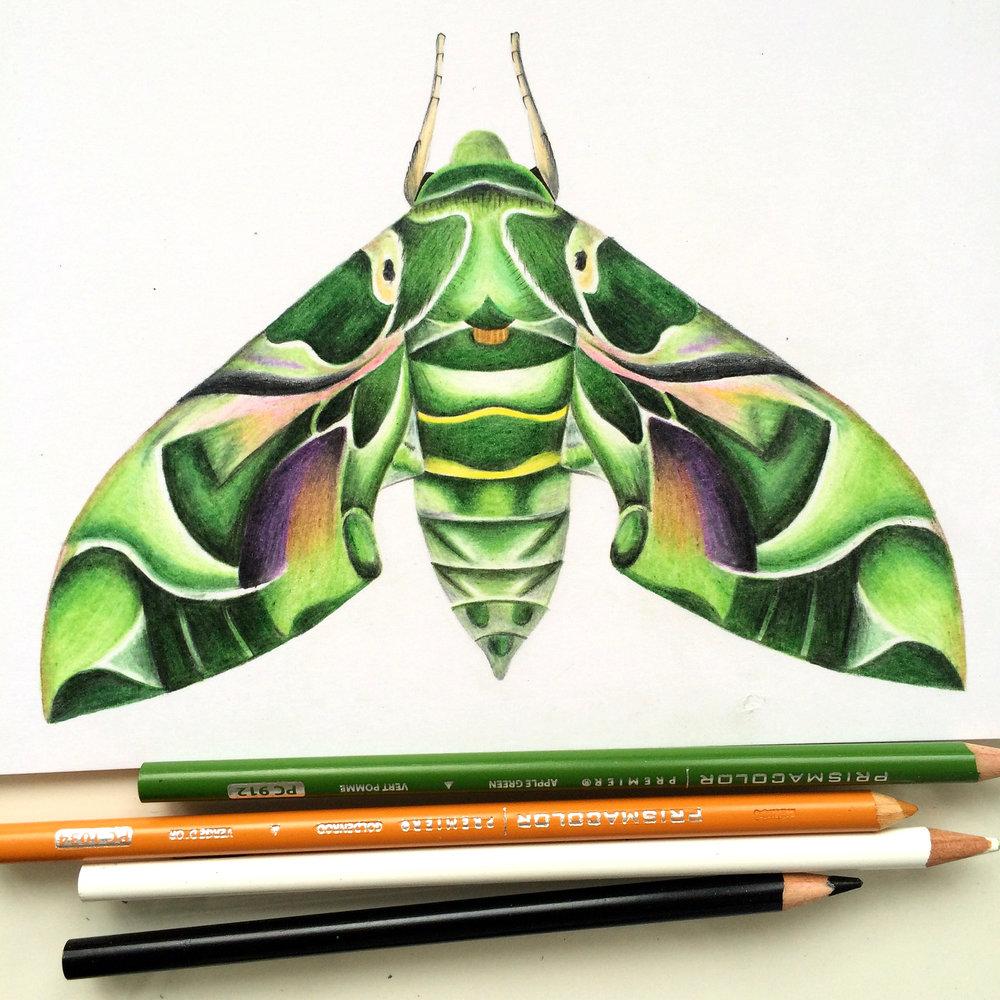 Orleander Moth.jpeg