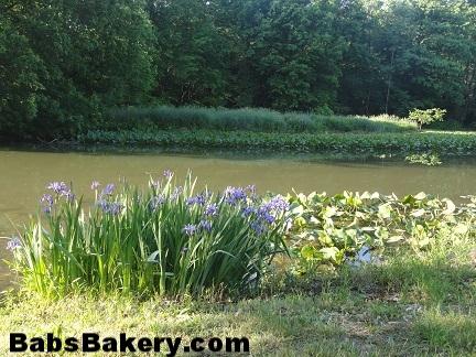 3 water iris 7.jpg