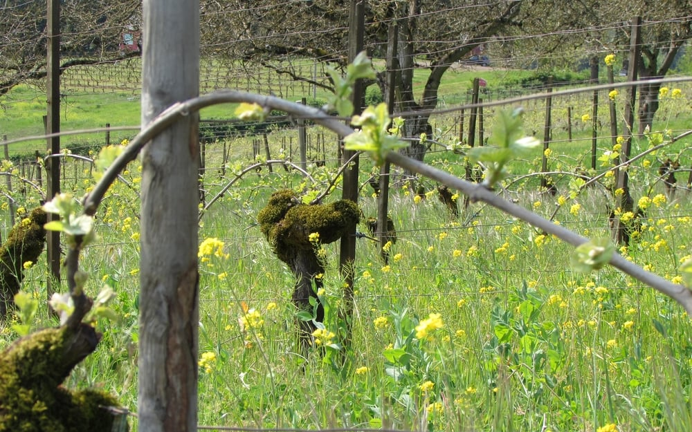 bird-netted Long Rows Block, Maresh Vineyard.JPG