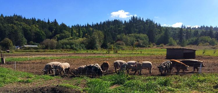 Finnriver Farm pigs.jpg