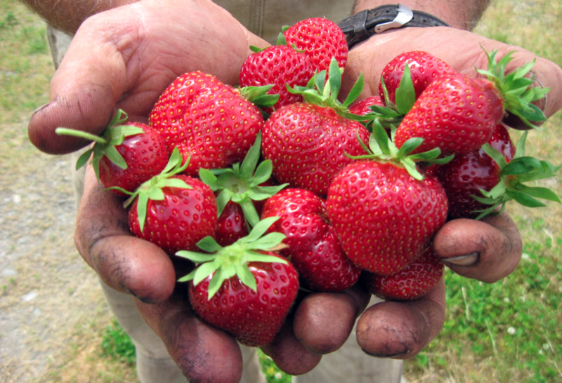 SpringRain Farm and Orchard strawberries. Photo care of SpringRain.