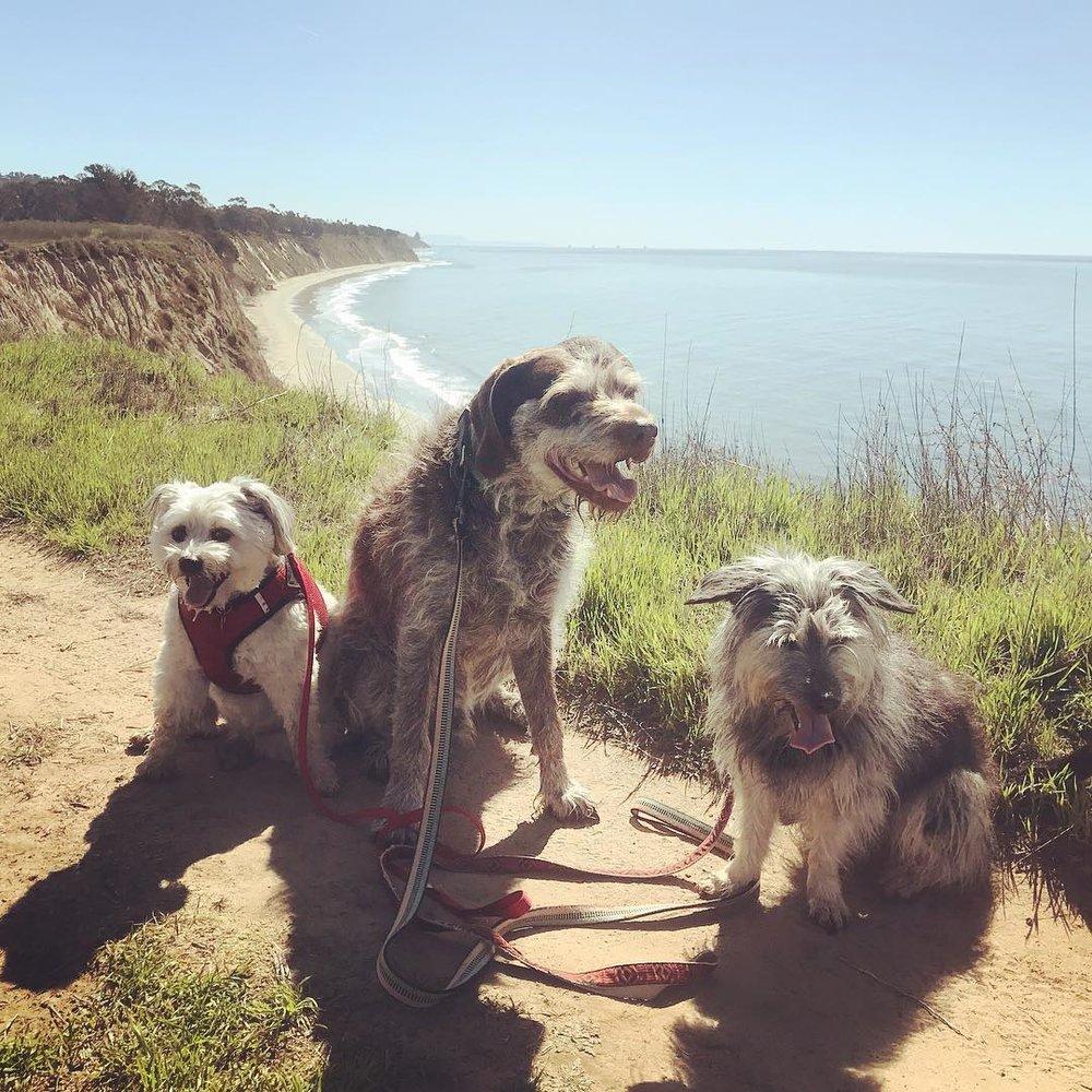 Lucky, Macaroni, and Trouble on 60 minute trail walk around More Mesa  #sbdogjog  #luckysbdj  #macaronisbdj  #troublesbdj  #moremesa
