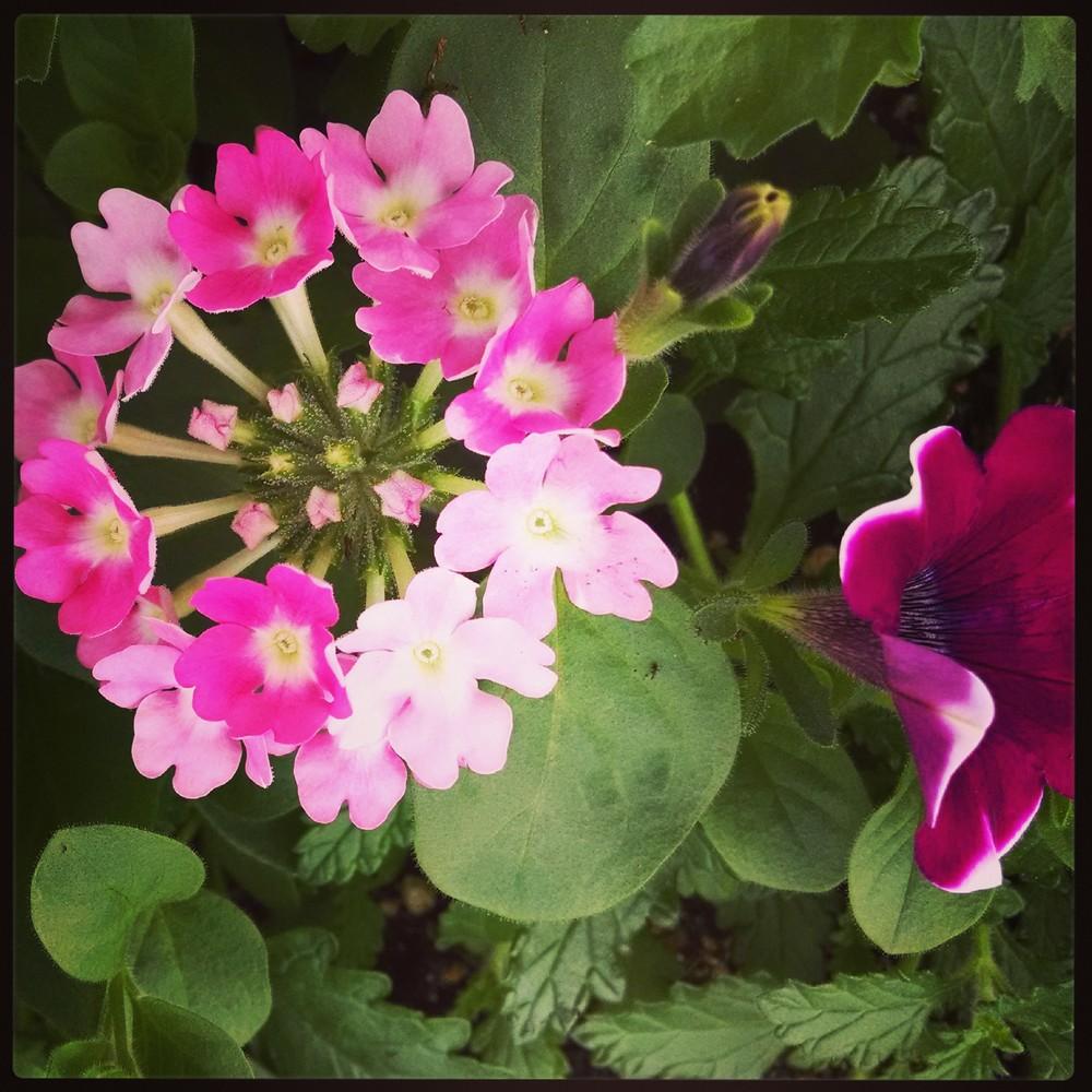 Spring Verbena