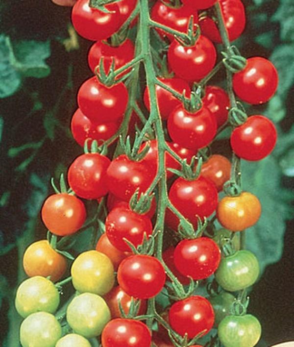 Tomato Sweet 100 Cherry