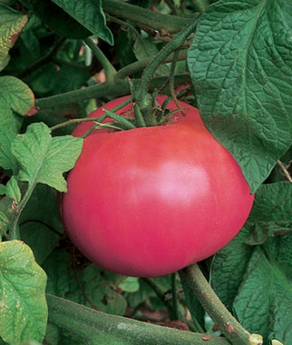 Tomato Heirloom Brandywine