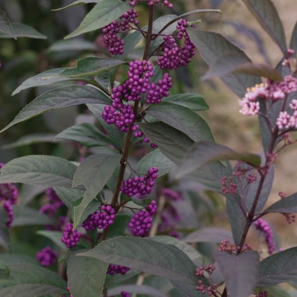 Purple Pearls® Beautyberry Callicarpa x