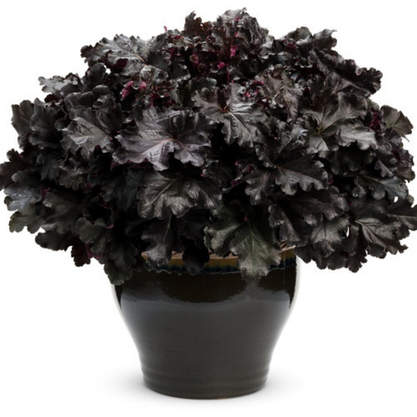 Primo™ 'Black Pearl' Coral Bells Heuchera hybrid