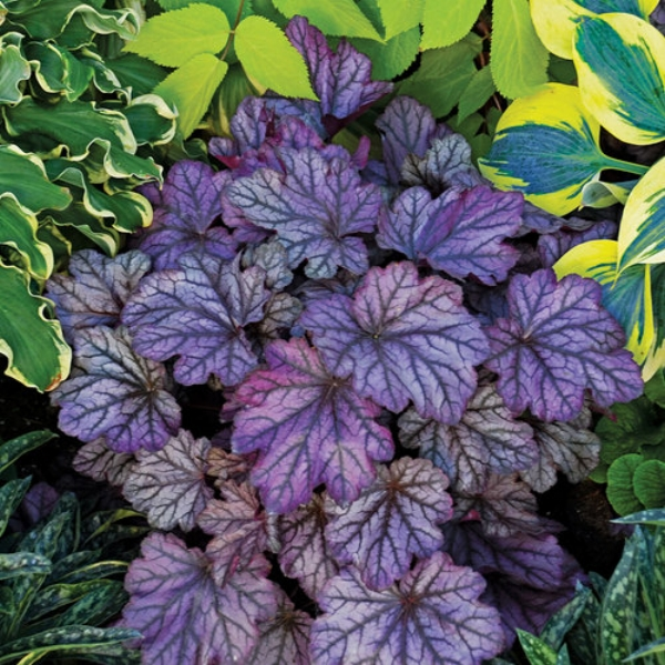 Dolce® 'Blackberry Ice' Coral Bells Heuchera hybrid