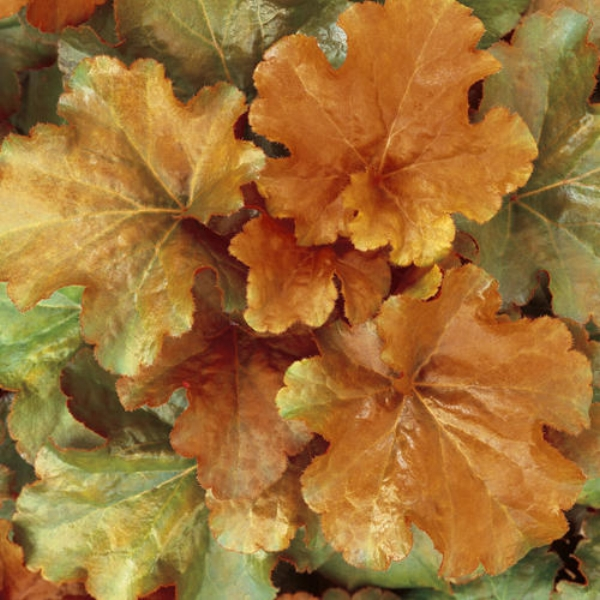 Dolce® Creme Brulee Coral Bells Heuchera hybrid
