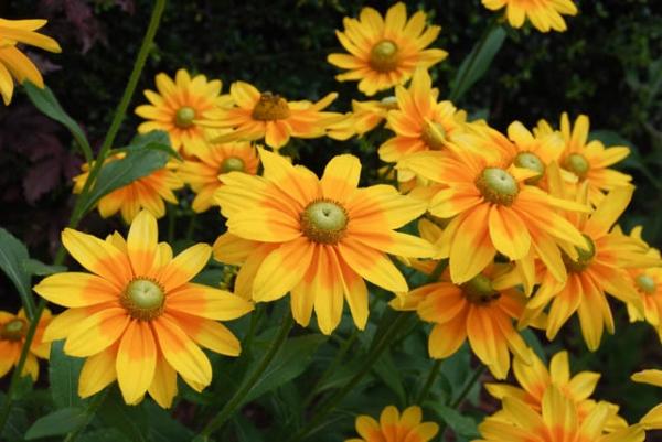Rudbeckia 'Prairie Sun'