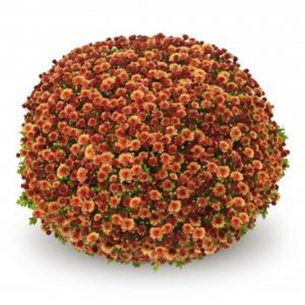 Jasoda Orange Belgian Mum®