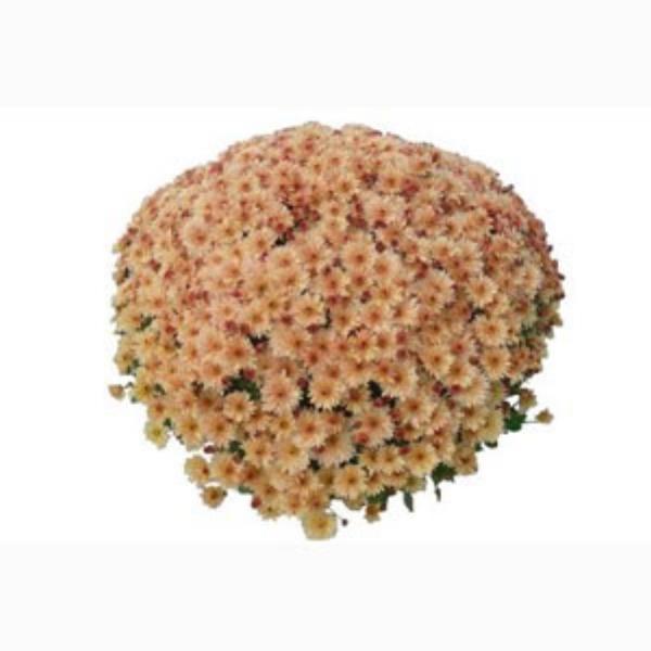 Sonoma Coral Belgian Mums®