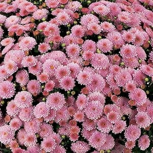Destino Pink Belgian Mums®