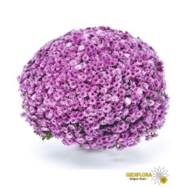 Pobo Lavender Belgian Mums®