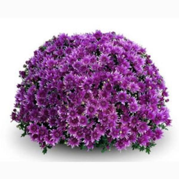 Remos Lilac Belgian Mum®