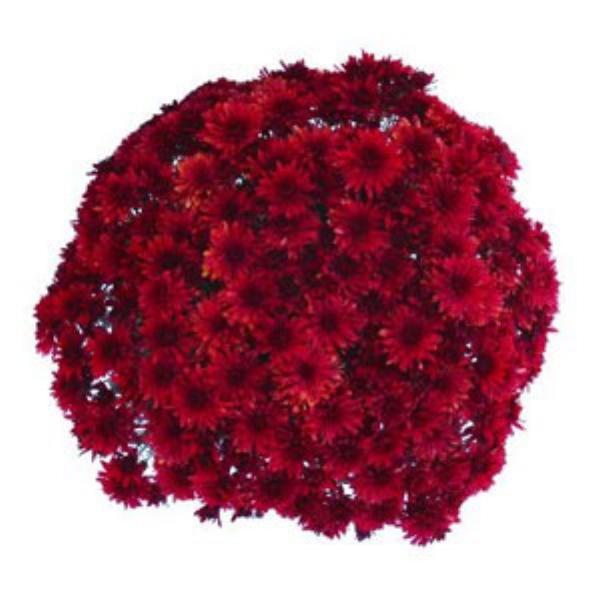 Granata Red Belgian Mum®