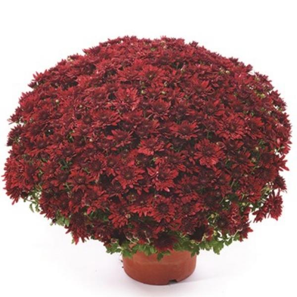 Vega Red Belgian Mum®
