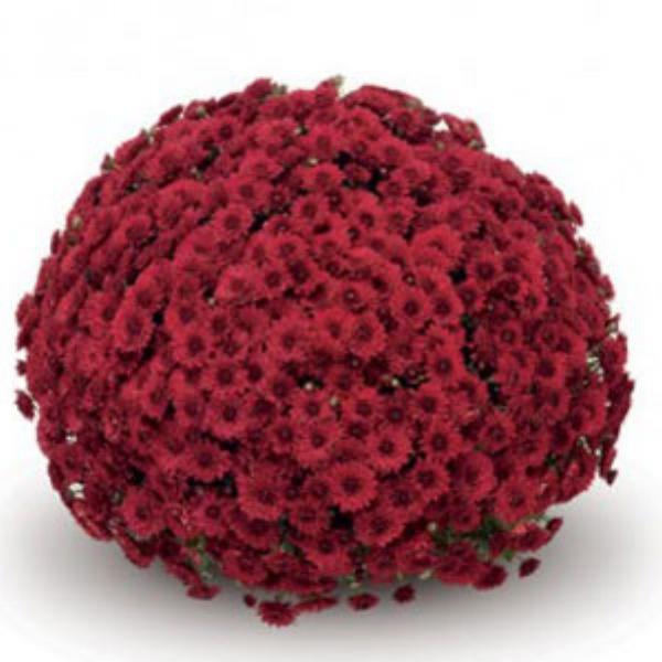 Lava Red Belgian Mum®