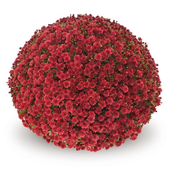 Jasoda Red  Belgian Mums®