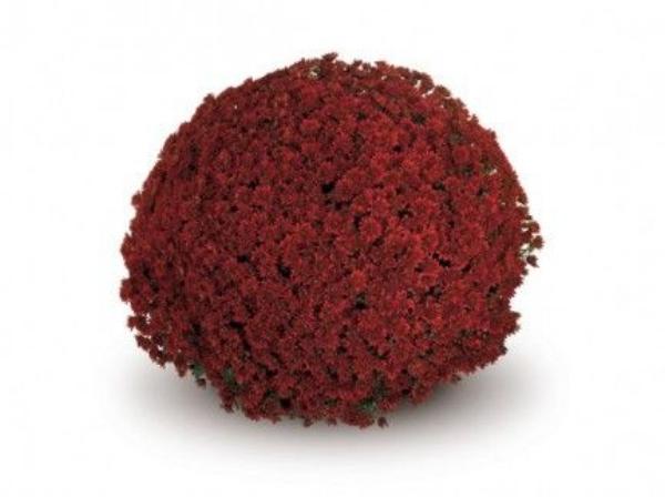 Contiki Red  Belgian Mums®