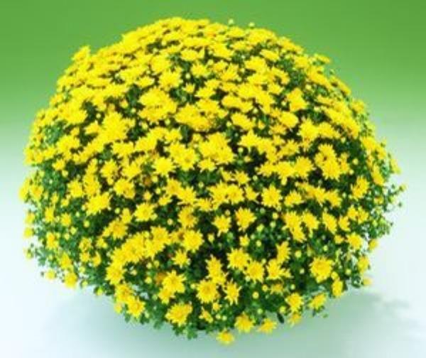 Urano Yellow  Belgian Mum®