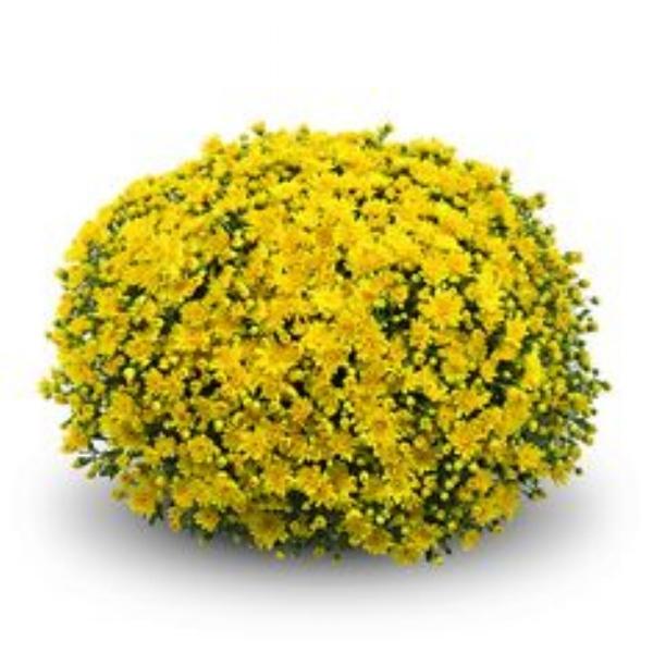 Conella Yellow  Belgian Mum®