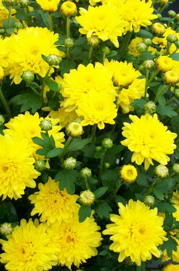Padre Yellow  Belgian Mum®